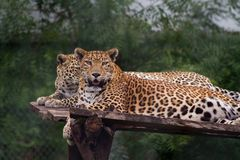 Leopards Gazing at camera. Male and Female Indian Leopards gazing or looking directly into the camera royalty free stock photos