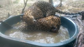 Leopards having a bath royalty free stock photography