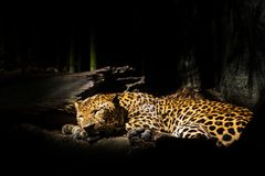 Leopards, jaguars sleep Royalty Free Stock Photo