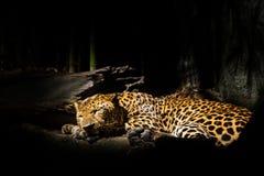 Leopards, jaguars sleep. Beside trees Royalty Free Stock Photo