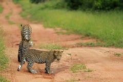 Leopards, Kruger National Park. South Africa Stock Photography