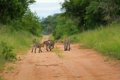 Leopards, Kruger National Park. South Africa Stock Photo