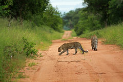 Leopards, Kruger National Park. South Africa Royalty Free Stock Photos