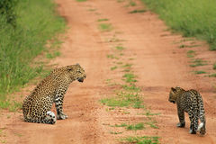 Leopards, Kruger National Park. South Africa Royalty Free Stock Photo