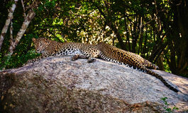 Leopards Lounging Lazily Stock Image