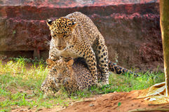 Leopards mating Royalty Free Stock Images