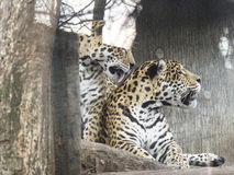 Leopards. Pair of leopards in captivity behind the protective glass Royalty Free Stock Photo