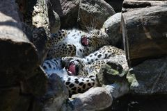 Free Leopards Panthera Pardus Saxicolor Playing Between Rocks Royalty Free Stock Photo - 152567205