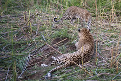 Leopards resting Royalty Free Stock Photography