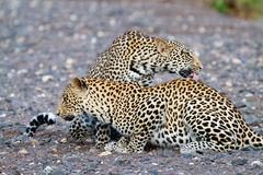 Leopards in riverbed. Two male leopards cleaning each other in a dry riverbed stock photos