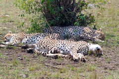 Leopards - Safary Kenya Royalty Free Stock Photography