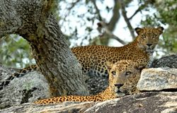 Leopards on a stone. The Sri Lankan leopard, male and female. Stock Photography