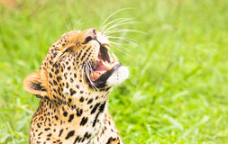 Leopards tänder Arkivfoto