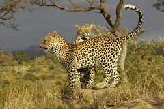 Leopards on a termite hill