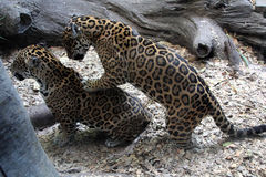 Leopards. Two beautiful spotted leopards, close-up Stock Image