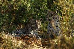 African Leopard Family Royalty Free Stock Photography