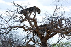 Leopards watching from a tree. Two african leopards watching from a tree in Namibia Royalty Free Stock Images