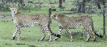 Leopards in the Wild. African Safari in Maasai Mara, Nairobi, Kenya Royalty Free Stock Images