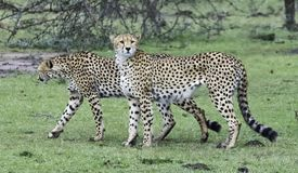 Leopards in the Wild. African Safari in Maasai Mara, Nairobi, Kenya Royalty Free Stock Image