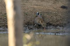 Leopards in the Yala National Park of Sri Lanka. The Leopards in the Yala National Park of Sri Lanka Stock Photography