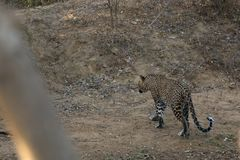 Leopards in the Yala National Park of Sri Lanka. The Leopards in the Yala National Park of Sri Lanka Stock Images