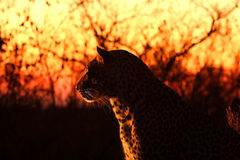 leopardsabisands Arkivbilder