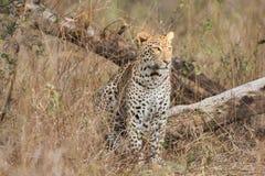 Leopardsammanträde royaltyfri bild
