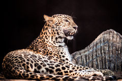 Leopardsammanträde i en bur royaltyfri bild