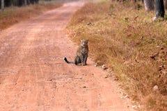 Leopardsammanträde på vägen royaltyfri bild