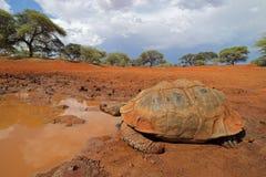 Leopardschildkröte an einem waterhole lizenzfreie stockfotografie