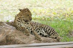 Leopardschlaf Lizenzfreie Stockfotografie