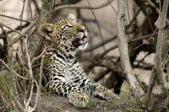leopardserengetitanzania barn Arkivfoton