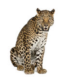 Leopardsitzen, brüllend, Panthera pardus Stockfoto