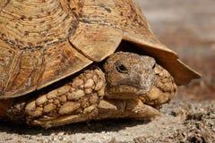Leopardsköldpadda Royaltyfri Fotografi