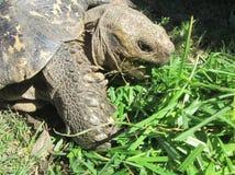 Leopardsköldpadda Royaltyfria Bilder