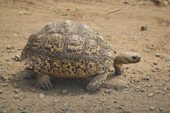 Leopardsköldpadda Arkivbilder