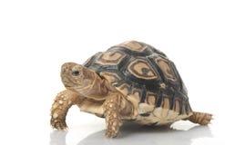 leopardsköldpadda Royaltyfri Foto