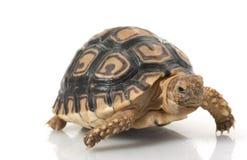 leopardsköldpadda Arkivfoton