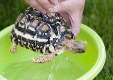 Leopardsköldpadda - daglig hygien Fotografering för Bildbyråer