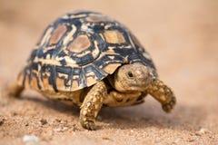 Leopardsköldpadda som långsamt går på sand med det skyddande skalet royaltyfri fotografi