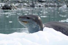 Leopardskyddsremsa på ett isberg Arkivbild