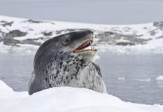 Leopardskyddsremsa som ligger på en isisflak Arkivfoto