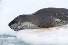 Leopardskyddsremsa som ligger på isen och att gå att dyka in i waen Arkivbild