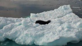 Leopardskyddsremsa som sover på ett isberg i Antarktis lager videofilmer