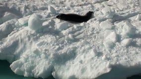 Leopardskyddsremsa som sover på ett isberg i Antarktis arkivfilmer