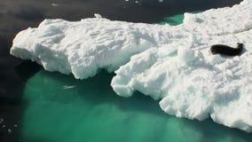 Leopardskyddsremsa som sover på ett isberg i Antarktis stock video