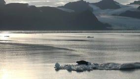 Leopardskyddsremsa som sover på ett isberg i arktisk lager videofilmer