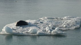 Leopardskyddsremsa som sover på ett isberg i arktisk stock video