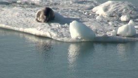 Leopardskyddsremsa som sover på ett isberg i arktisk arkivfilmer