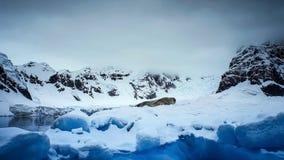 LeopardskyddsremsaHydrurga leptonyx, antarktisk halvö royaltyfria foton